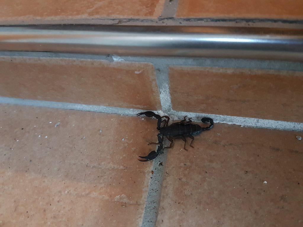 Tessiner Skorpion