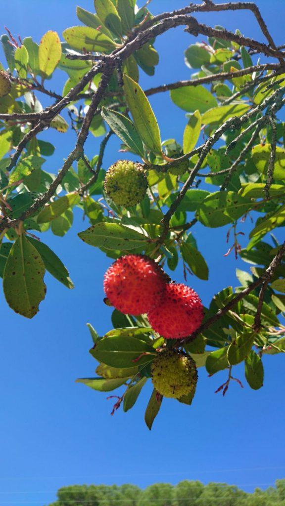 Corbezollo - Erdbeerbaum