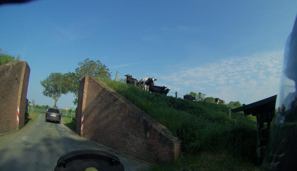 Da stehen Kühe auf dem Deich