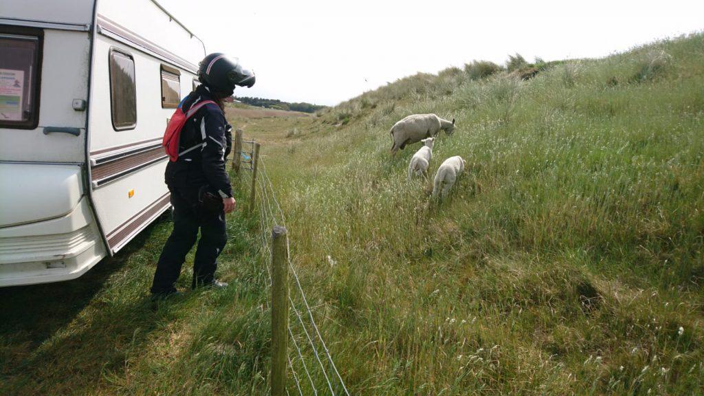 Vier - äh - drei Schafe am Deich